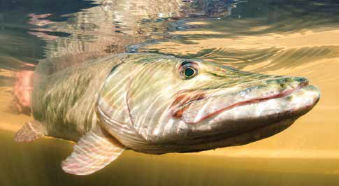 The muskie is one of the rarest sportfishes in the Rideau and a favourite of anglers. Photo by Sean Landsman