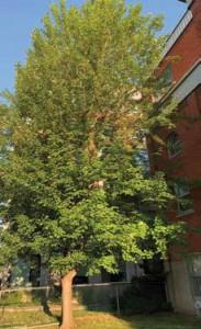 Oblats Ave Maple Tree