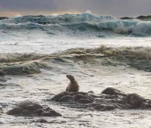 In this photograph, Lamont captures a sea lion on rocks amid waves. Photo by Jim Lamont