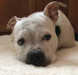 Jynx, a sweet-tempered bulldog mix, is a rescue and a perfect fit for her new family. Photo Supplied