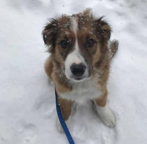 """Timber, an Australian Shepherd puppy and the epitome of cute, """"just kind of fell into our laps,"""" says first-time dog owners Ben and Kelsey Mahon. Photo Supplied"""
