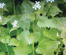 OOE Top3 Invasive Species Dog-Strangling Vine